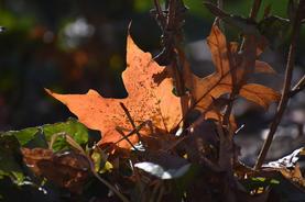 """Sarah Kwashnak   """"Sunlit Leaves"""""""