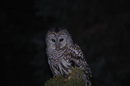 "Rose Schwartz    ""Barred Owl """