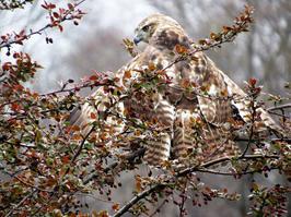 "Dawn O'Creene    ""I'm a Moth! - Red Tail Hawk in Spring"""