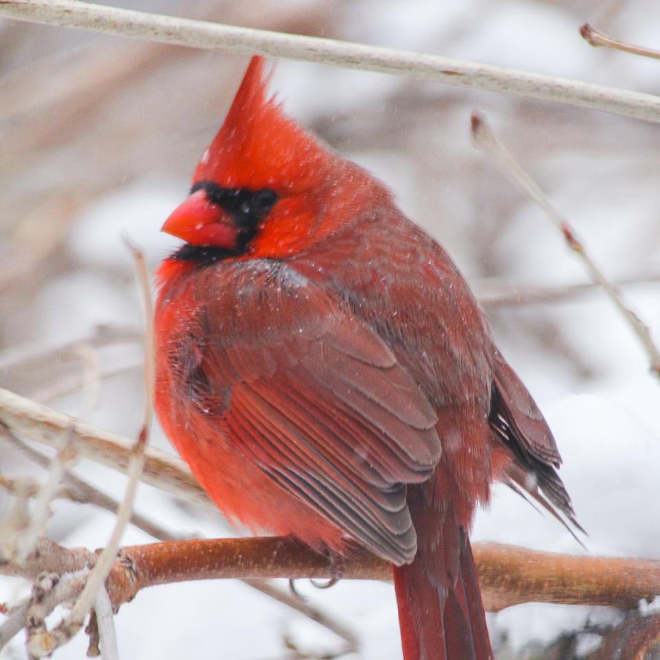 Pappa Cardinal