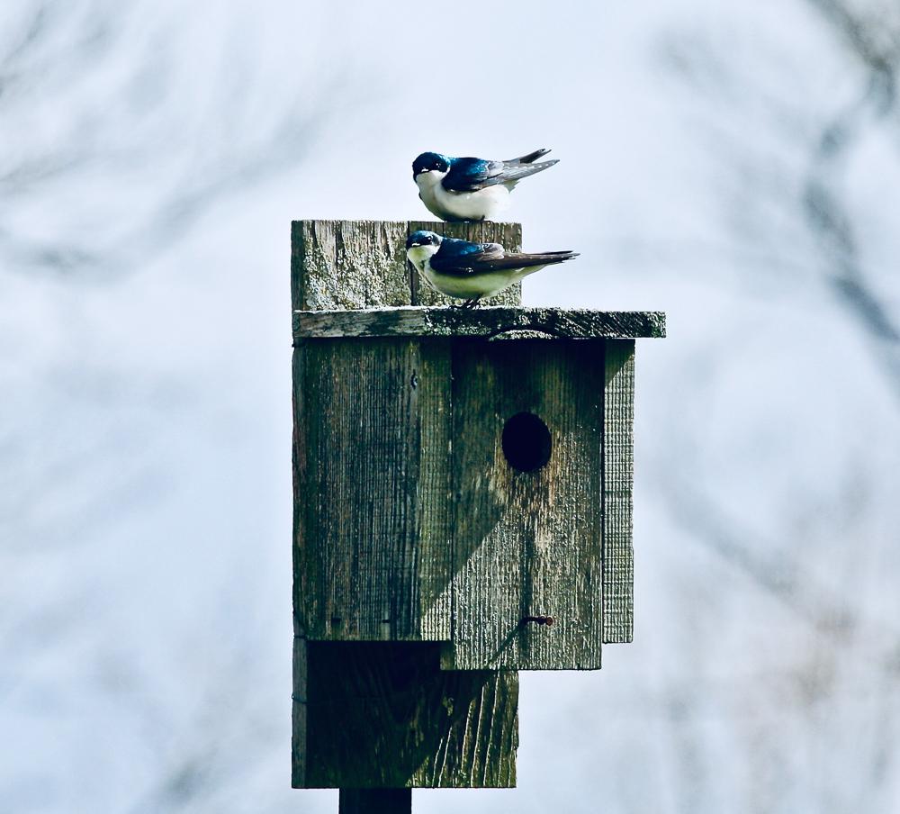 Susan Rostenberg - Tree Swallows