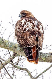 """Mary Ellen Moore    """"Red Tail"""""""