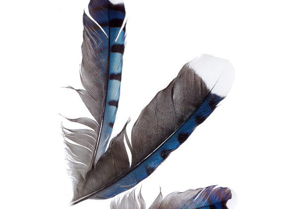 Judith Secco:  Jay Feathers