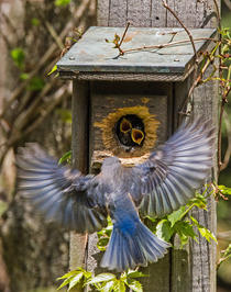 "Don Turner   ""Bluebird Parent Bringing Lunch"""