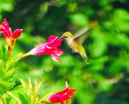 """SuzanneTelsey   """"Hummingbird"""""""