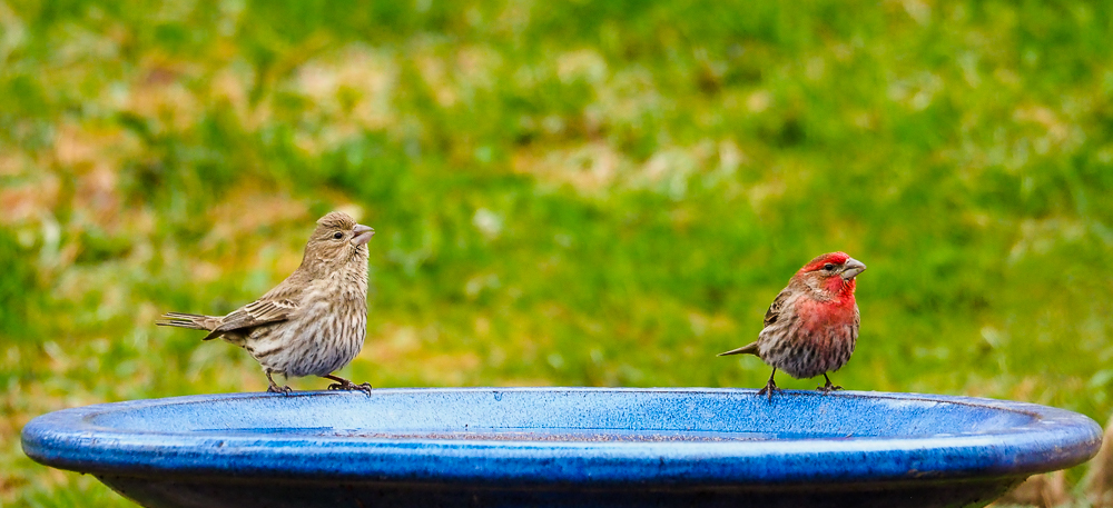 House Finches - Female and Male