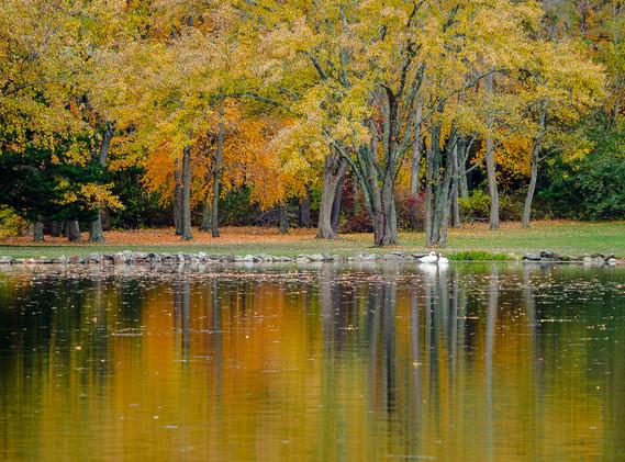 Housatonic River Swans