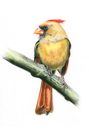 "Christina Maschke    ""Female Cardinal""  SOLD"
