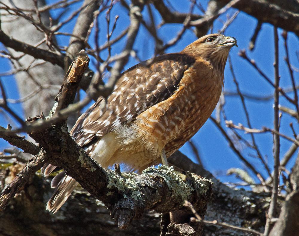 Don Turner - Red-shouldered Hawk