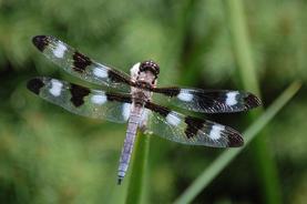 """Rose Schwartz     """"Dragonfly"""""""