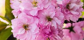 Linda T Hubbard  Cherry Blossoms  Photograph 16 x 26.jpg