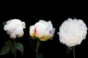 "Christy Bonaiuto    ""Progression of a Peony in White"""