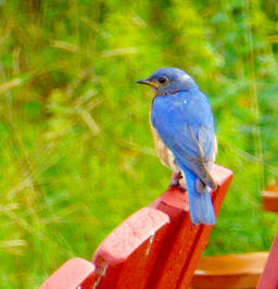 """Suzanne Telsey   """"Eastern Bluebird"""""""