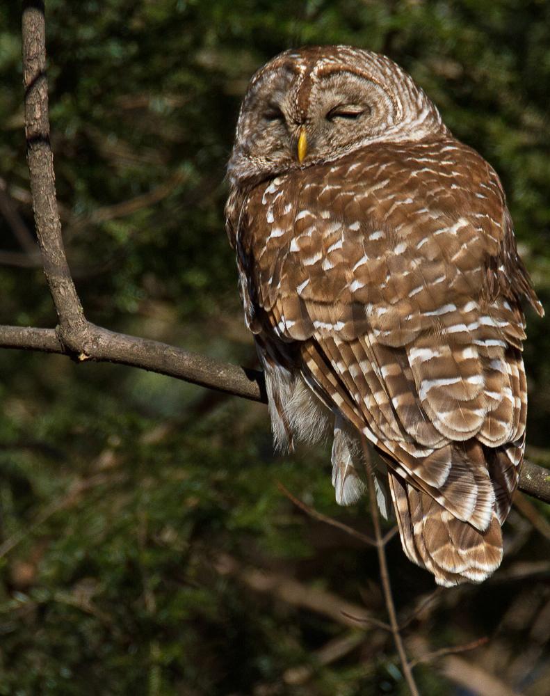 Don Turner - Barred Owl
