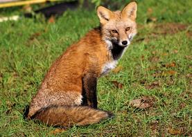"""Amy Grinder    """"Foxy Lady"""""""