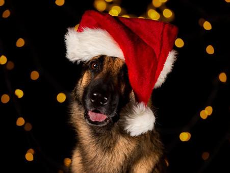 Fotografera din hund med jultema