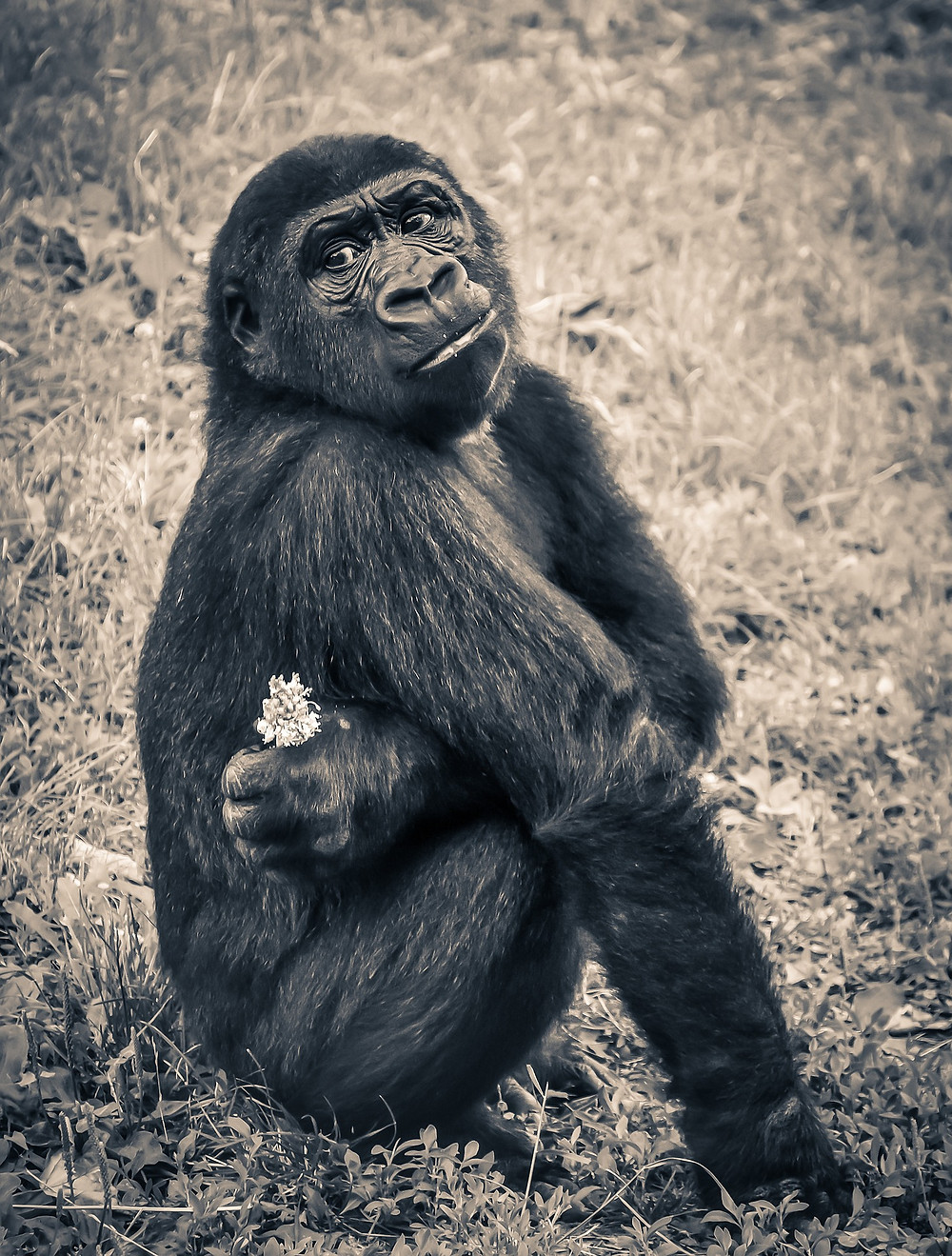 gorilla monkey ape sitting with flowers waiting to be rejected how to get a secret literary agent publishing publish your manuscript