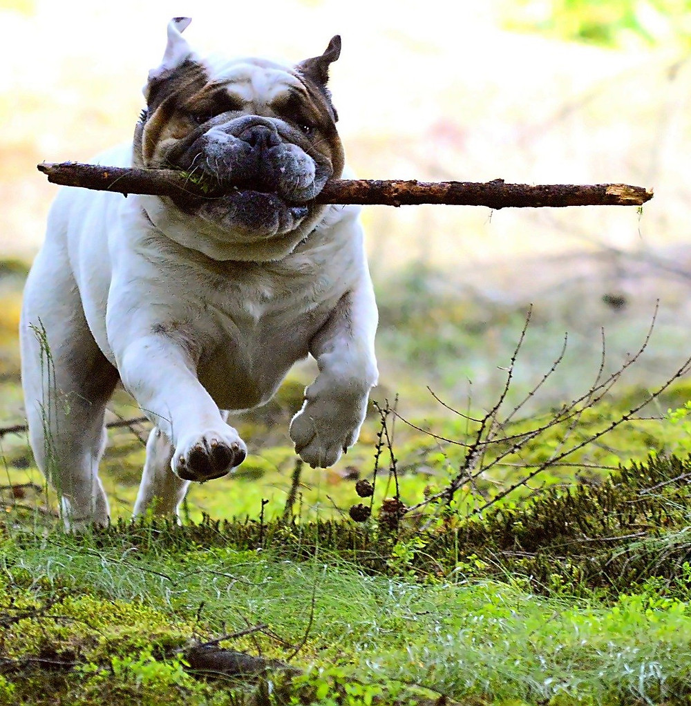 How to get published traditional publishing for author writer dog running with stick baton funny silly