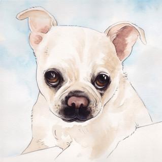 Kiki is a Bugg — Boston Terrier Pug mix