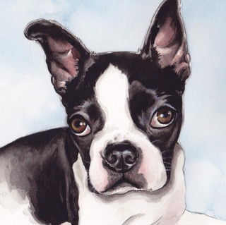 Buster the Boston Terrier