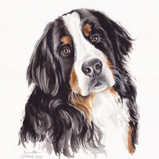 Cooper is a Bernese Mountain Dog