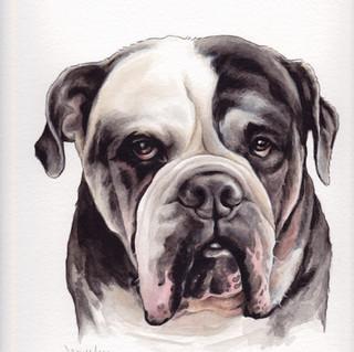 Ruckus the Old English Bulldogge