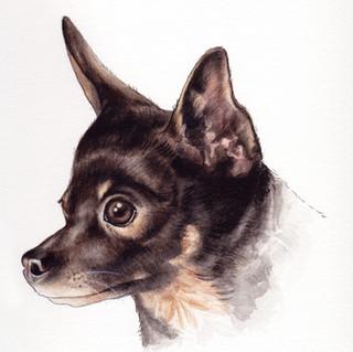 Jazz the Chihuahua