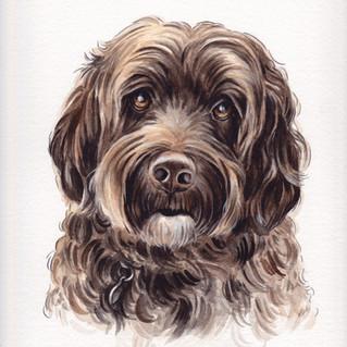 Samson the Portuguese Water Dog