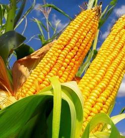 Presidente zera alíquotas de tributos incidentes na importação de milho