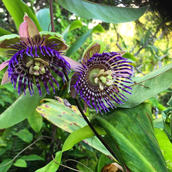 Lilikoi (passion fruit) flowers. One of the most divine fragrances on the planet
