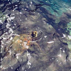 5 little honu in a lava rock cove getting tossed around in the swells and crashing waves but through