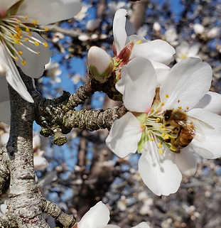 bee on almond.png