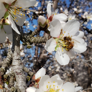 Do Self-Pollinating Almonds Still Need Bees?