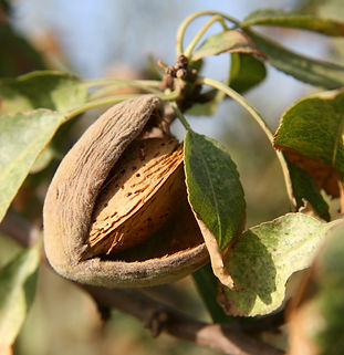 almond-tree-3632381.jpg