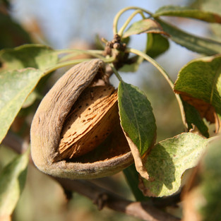 Pollination affects the nutritional quality of almonds