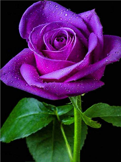 Purple Rose Stem.jpg