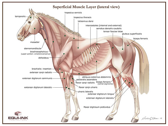 Equine Muscle Posters