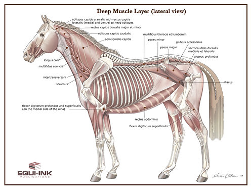 Deep Muscle Layer Poster