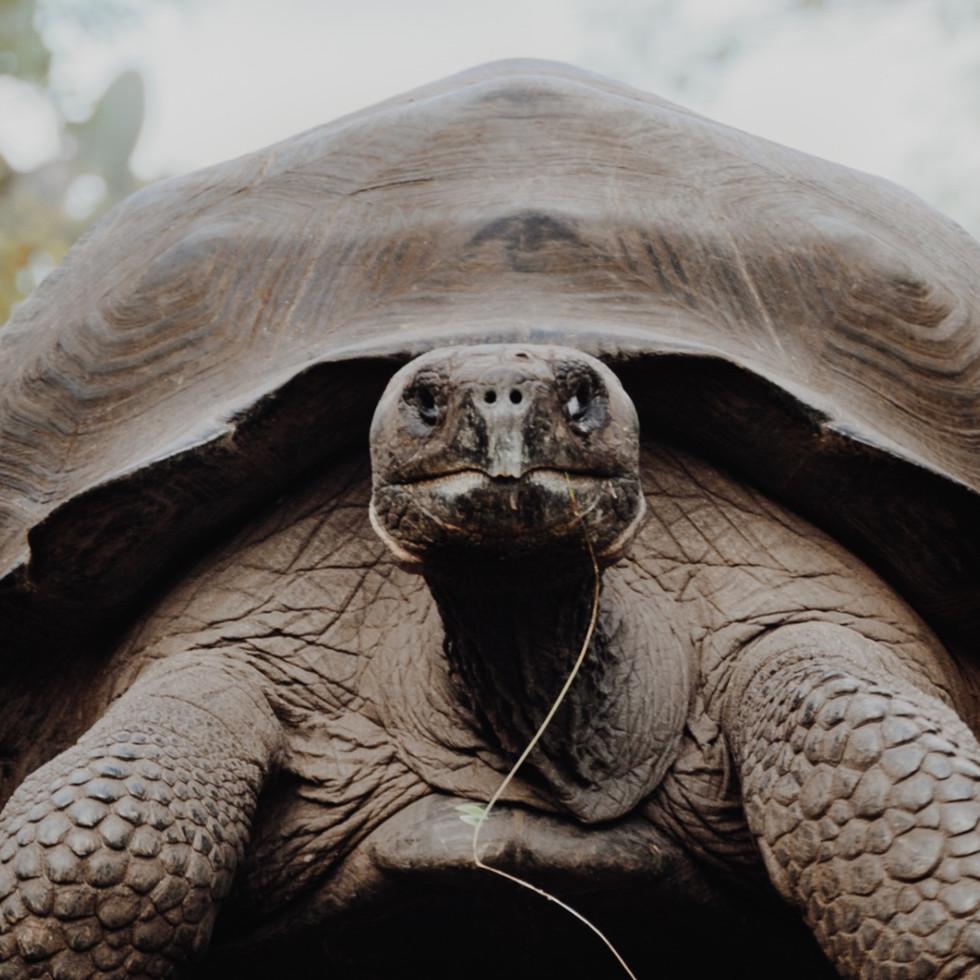 Tortuga Galapagos.
