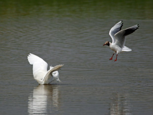 Little Egret v Black Headed Gulls