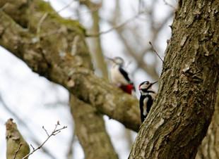 When Woodpeckers Attack!