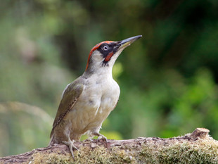 Green Woodpeckers and The Archers