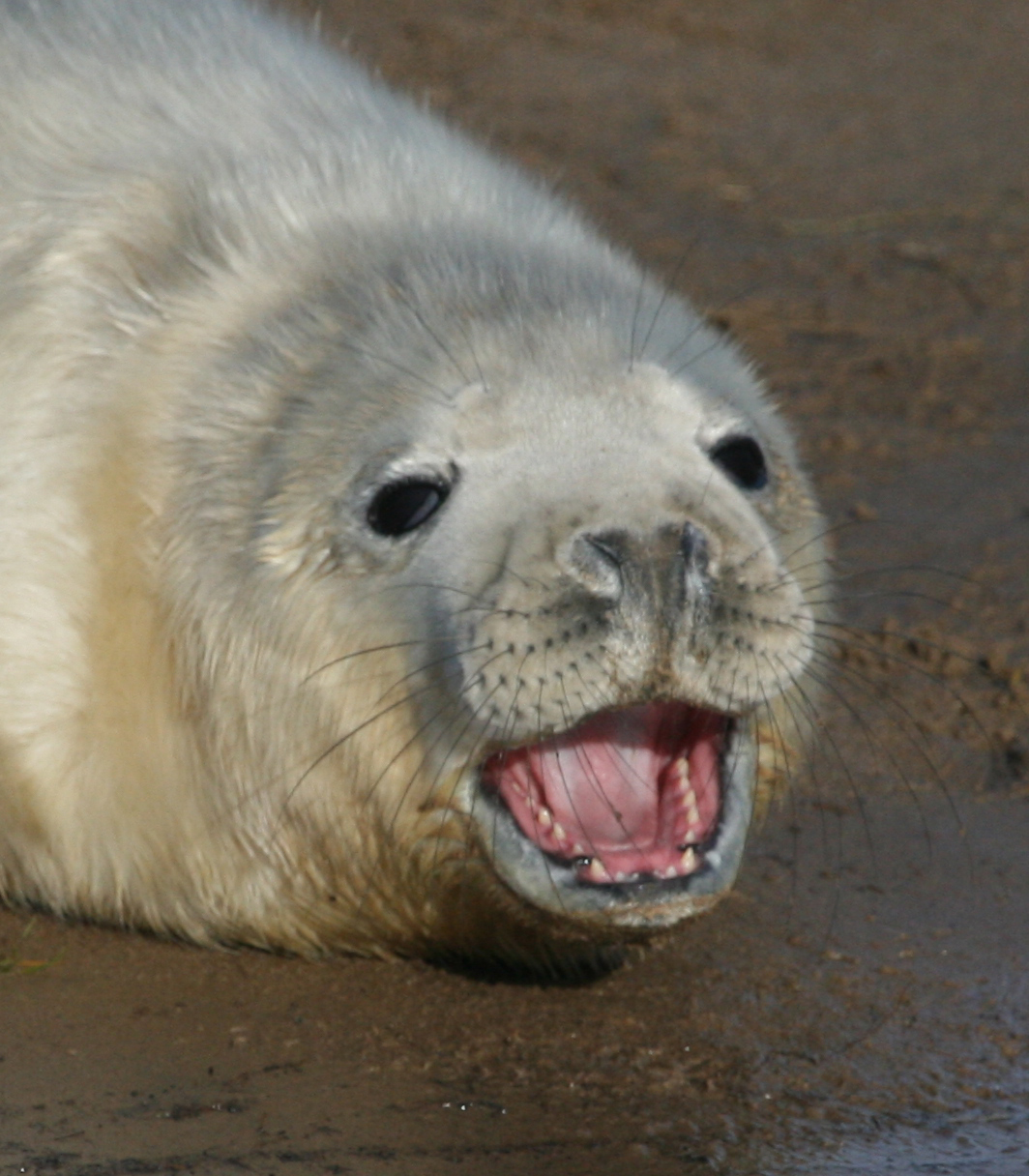 Happy grey seal