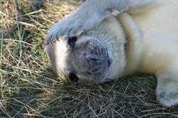 Sunbathing newborn seal