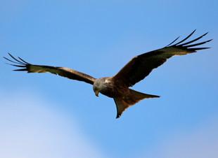 Blue Skies Red Kites