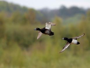 Do Ducks Goose?