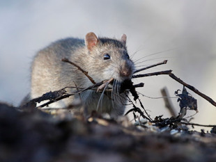 Rat Update