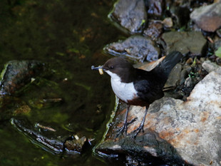 Return of the Dippers