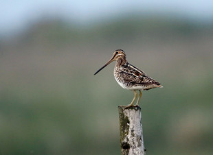 We're Going On A Snipe Hunt