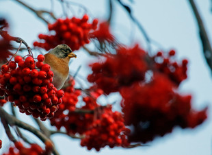 Whilst Waiting For Waxwings